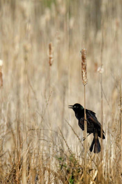 Photograph - Common Grackle Calling by Bill Wakeley