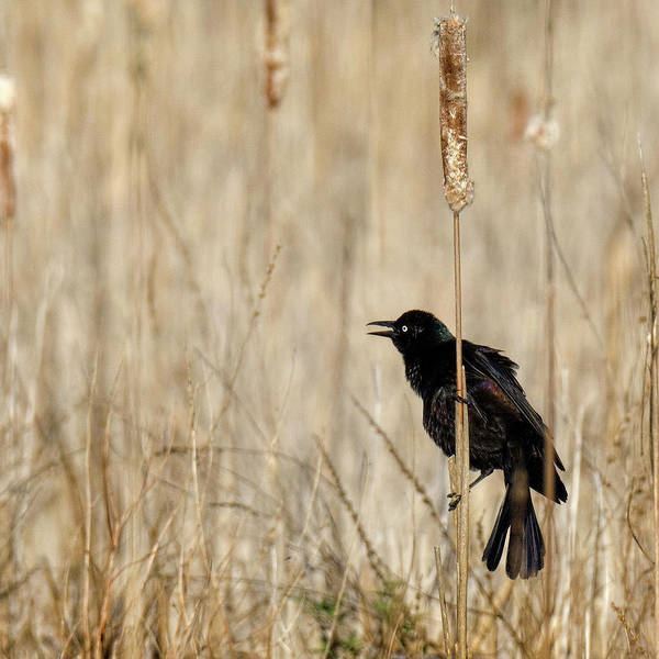 Photograph - Common Grackle Calling Square by Bill Wakeley