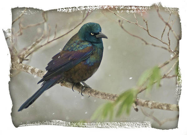 Photograph - Common Grackle by David Waldrop