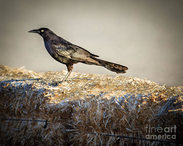 Icterid Photograph - Common Grackle by Robert Bales
