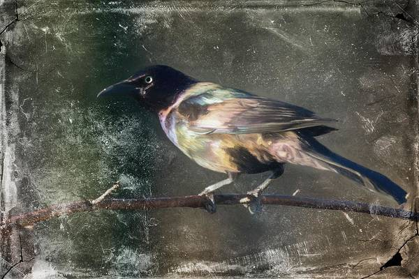 Digital Art - Common Grackle by Rusty R Smith