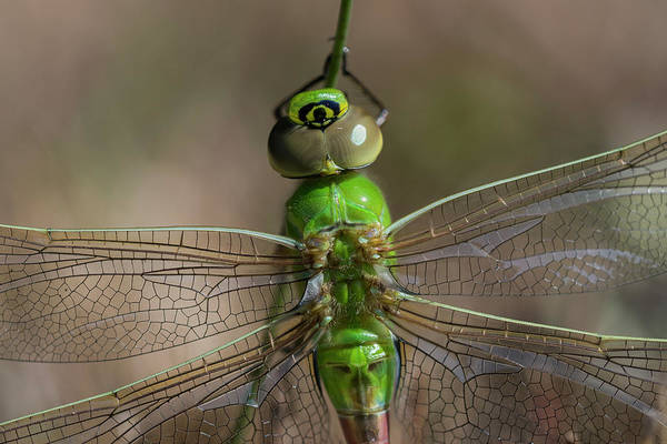 Photograph - Common Green Darner by Robert Potts