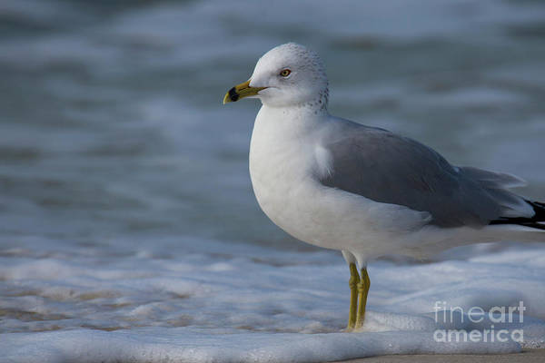 Port St. Joe Photograph - Common Gull by Twenty Two North Photography
