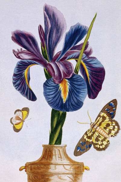 Wall Art - Painting - Common Iris With Butterflies by Pierre-Joseph Buchoz