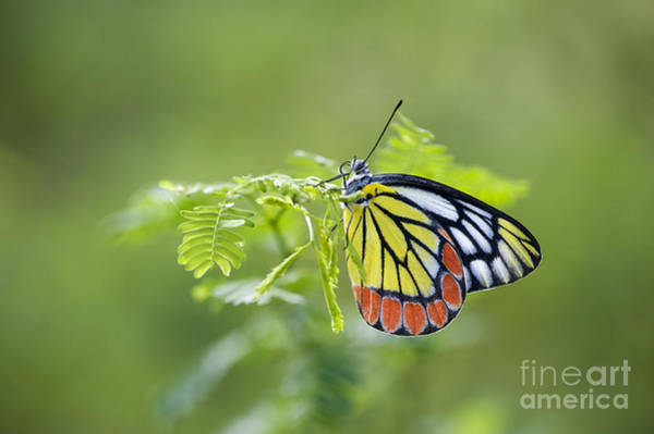 Photograph - Common Jezebel Butterfly by Tim Gainey