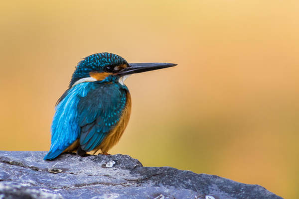 Wall Art - Photograph - Common Kingfisher by Snehal Patel