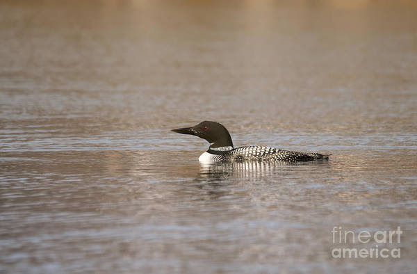 Photograph - Common Loon by Charles Owens