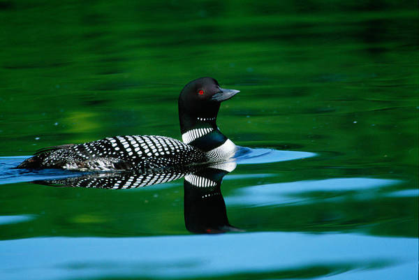 Loon Photograph - Common Loon In Water, Michigan, Usa by Panoramic Images