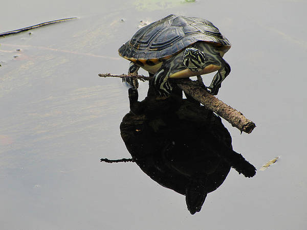 Painted Turtle Photograph - Common Map Turtle by Scott Hovind