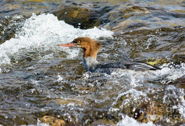 Photograph - Common Merganser by Gary Beeler