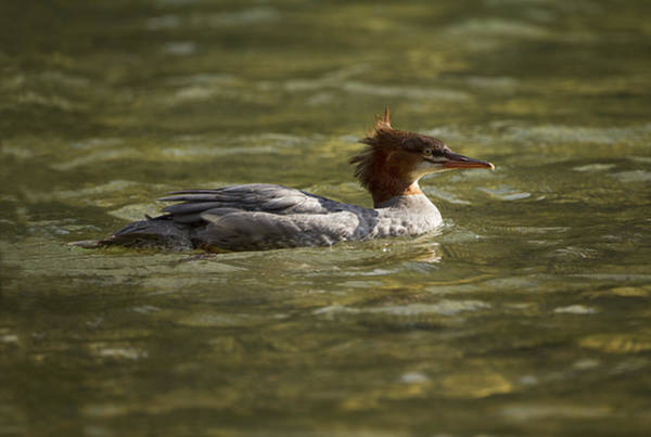 Photograph - Common Merganser by Mark Kiver