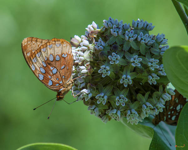 Photograph - Common Milkweed And Great Spangled Fritillary Dsmf0261 by Gerry Gantt