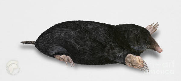 Painting - Common Mole Talpa Europaea by Urft Valley Art