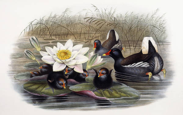 Wall Art - Painting - Common Moorhen by John Gould