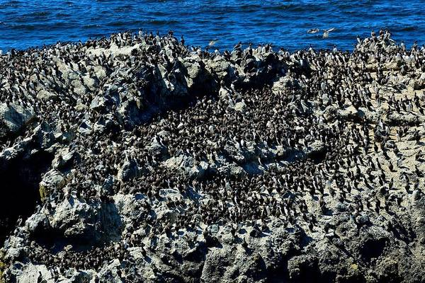 Photograph - Common Murres Nesting by Walt Sterneman