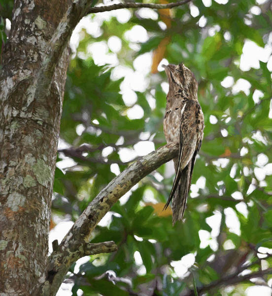 Photograph - Common Potoo Costa Rica by Joan Carroll