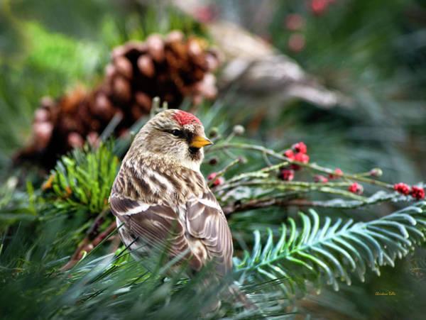 Photograph - Male Common Redpoll Bird by Christina Rollo