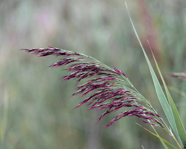 Photograph - Common Reed Flower Stalk by Scott Lyons