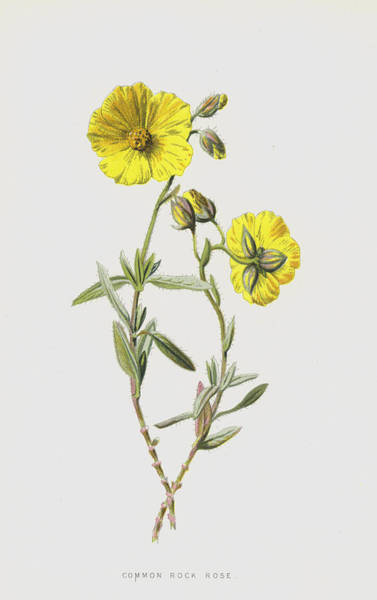 Wall Art - Painting - Common Rock Rose by Frederick Edward Hulme