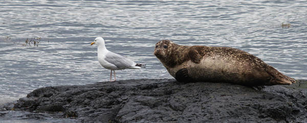 Common Seal And The Gull Art Print