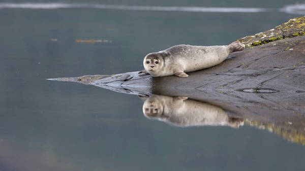 Photograph - Common Seal Reflects by Peter Walkden