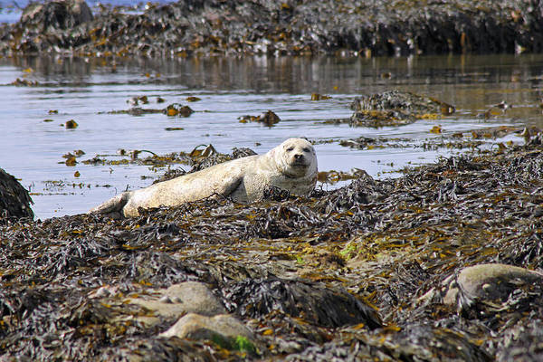 Photograph - Common Seal by Tony Murtagh