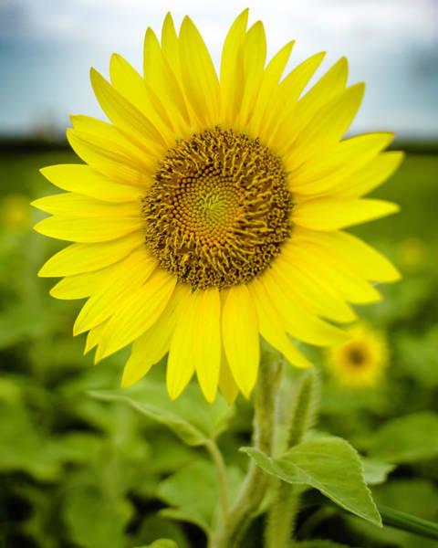 Photograph - Common Sunflower by Chris Coffee
