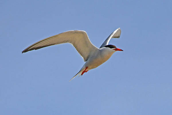 Photograph - Common Tern by Ken Stampfer