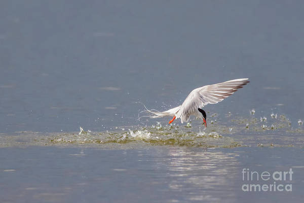 Common Tern - Sterna Hirundo - Emerging From The Water With A Fish Art Print