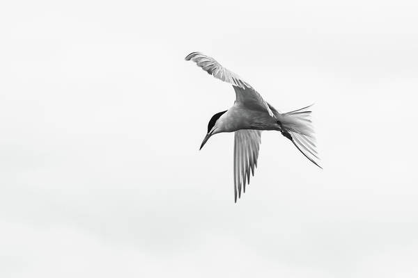 Photograph - Common Tern by Wendy Cooper
