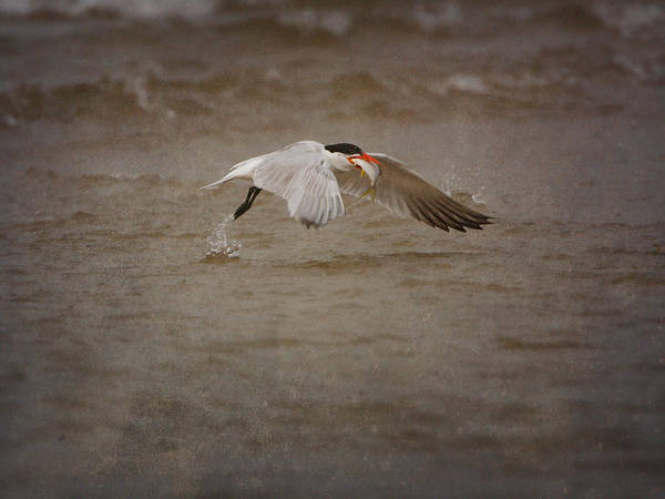 Photograph - Common Tern With Fish by Charles McKelroy