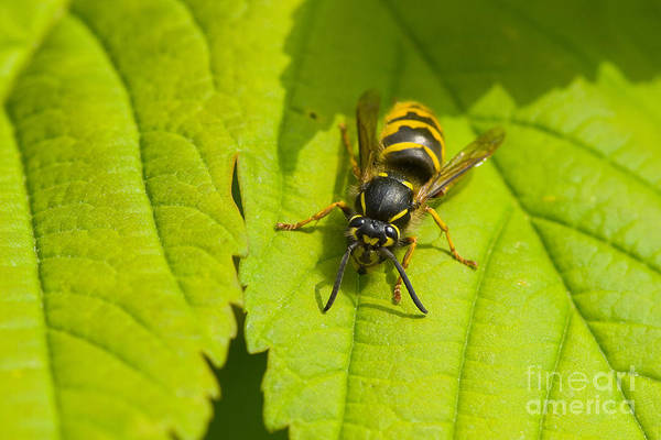 European Hornet Photograph - Common Wasp by Steen Drozd Lund