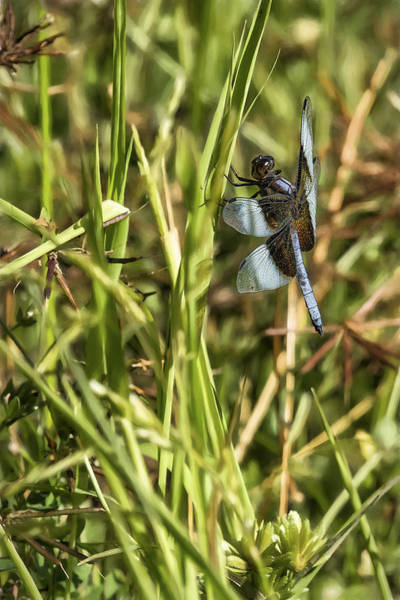Photograph - Common Whitetail Dragonfly On A Blade Of Grass by Belinda Greb
