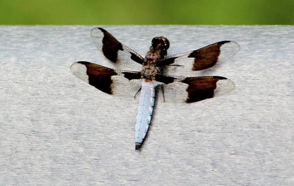 Photograph - Common Whitetail Skimmer by Cynthia Guinn
