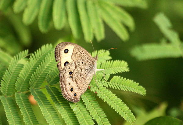 Photograph - Common Wood Nymph On Mimosa by Sheila Brown