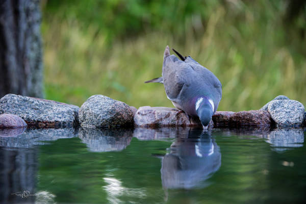 Photograph - Common Wood Pigeon Drinking At The Waterhole From The Front by Torbjorn Swenelius