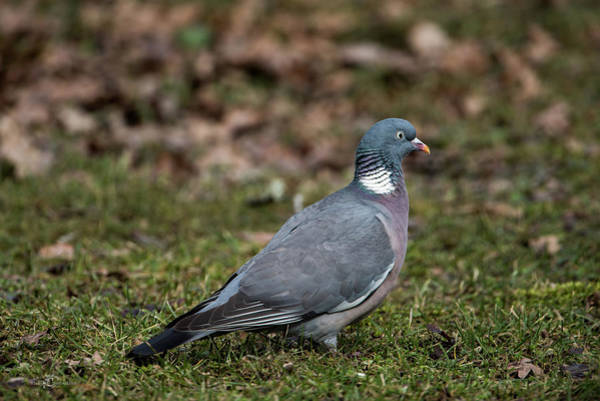 Photograph - Common Wood Pigeon's Profile by Torbjorn Swenelius