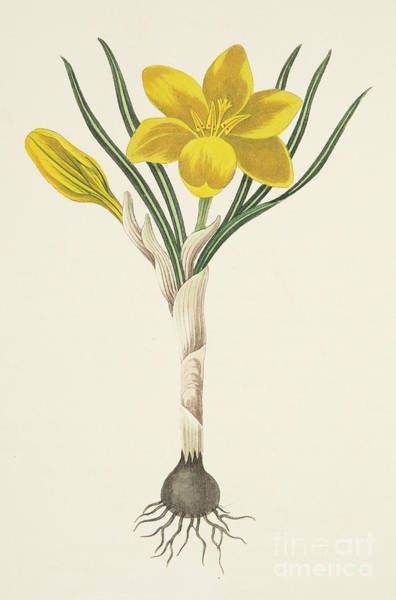 Wall Art - Painting - Common Yellow Crocus by Margaret Roscoe