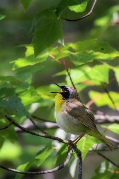 Photograph - Common Yellowthoat Singing by Bill Wakeley
