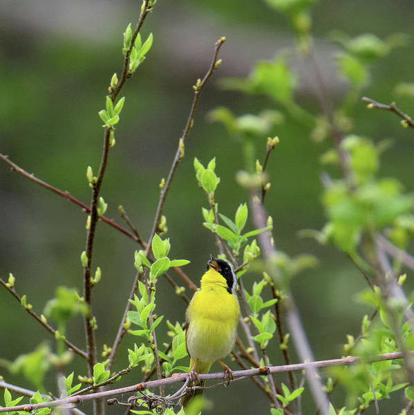 Photograph - Common Yellowthoat Singing Square by Bill Wakeley