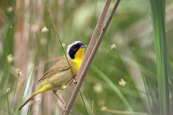 Photograph - Common Yellowthroat In The Marsh by Liza Eckardt