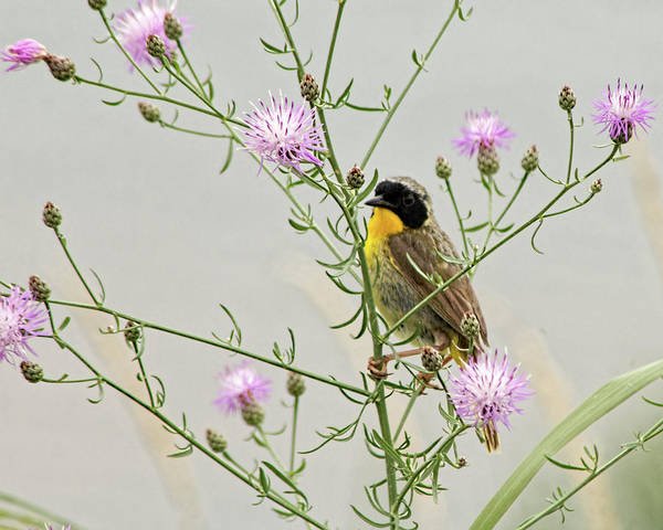 Photograph - Common Yellowthroat by Kristia Adams