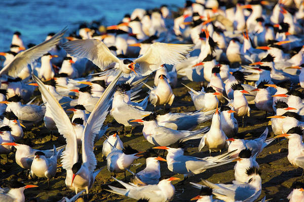 Tern Wall Art - Photograph - Competition by Brian Knott Photography