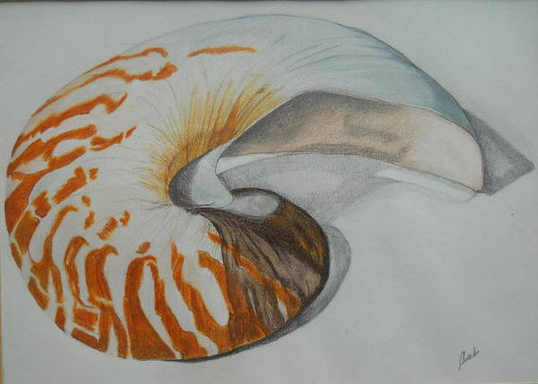 Drawing - Conch by Audrey Bunchkowski