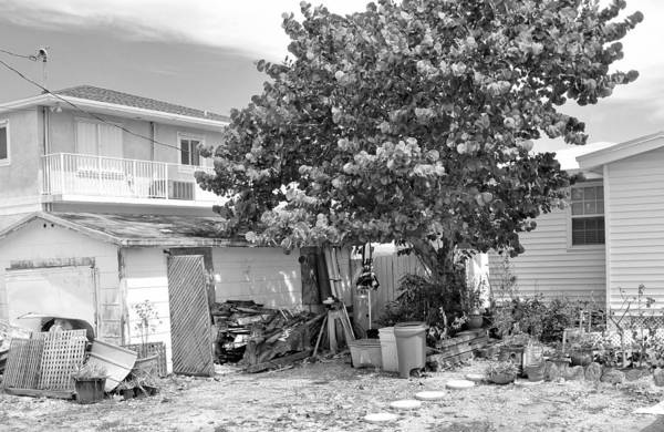Photograph - Conch Key Sea Grape Tree 1 by Ginger Wakem