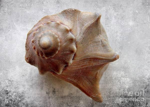 Wall Art - Photograph - Conch Shell Art by Mesa Teresita
