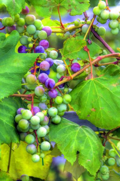 Photograph - Concord Grape by Sam Davis Johnson