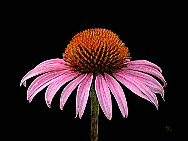 Cone Flower - Rudbeckia Art Print