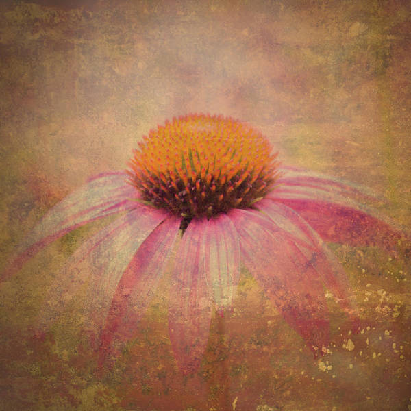 Photograph - Cone Flower by Bob Orsillo