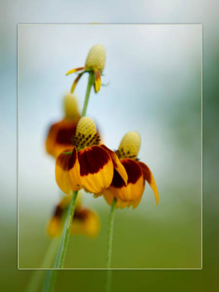Photograph - Cone Flower by Charles McKelroy